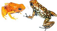 Harlequin Poison Frogs (Oophaga sylvatica) Stock Footage