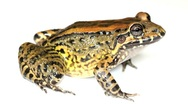 Stock Video Footage of Bulun White-lipped Frog (Leptodactylus ventrimaculatus)
