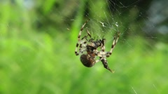 The spider has caught a victim - it very much is glad to it - stock footage