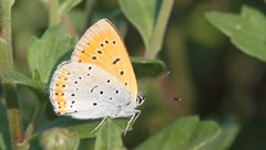 Lycaena dispar / large copper butterfly, female Stock Footage