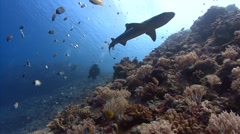 Sharks swim with SCUBA Divers Stock Footage