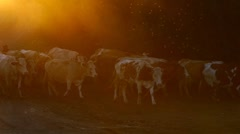 Shepherds drive cows to village Stock Footage