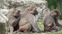 Baboon Stock Footage