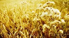 Golden cereal crop, Harvest time. Stock Footage