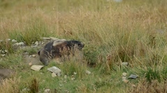 Groundhog in natural alpine environment habitat Stock Footage