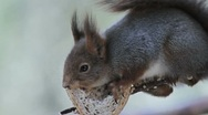 Stock Video Footage of Red Squirrel in tree feeding close up view