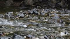 Salmon Thrashes Body Upstream Stock Footage