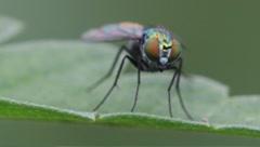 long-legged fly Dolichopus spp. - stock footage