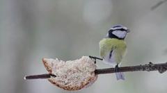 Blue Tit Bird Stock Footage
