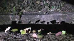 Leafcutter Ants in Honduras Stock Footage