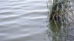 reeds and ripples - stock footage