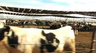 Stock Video Footage of Beef Cattle Cow Pen Drive-by 2