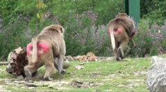 Baboons 09 Stock Footage