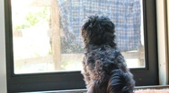 Stock Video Footage of Poodle looking out window POV from behind