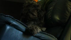 Poodle lays in chair and looks around Stock Footage