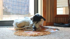 English Pointer cleaning legs. Stock Footage