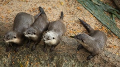 A Group of Otters (Lutrinae) Looking Swimming, Mustelidae family, Aquatic Animal Stock Footage