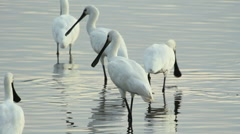 Spoonbills Stock Footage