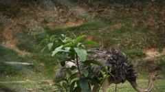 Ostrich (Struthio camelus), Large African Flightless Bird, Struthionidae, Eating Stock Footage