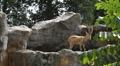 Nubian Ibex, Capra Nubiana, Mountain Landscape, Nature Reserve, Desert Footage
