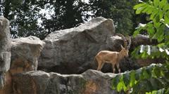 Stock Video Footage of Nubian Ibex, Capra Nubiana, Mountain Landscape, Nature Reserve, Desert