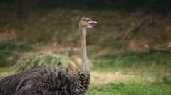 Ostrich (Struthio camelus), Large African Flightless Bird, Struthionidae, Eating - stock footage