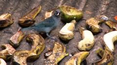 bird eating a banana - stock footage