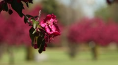 Pink Tree Blossom 5 Stock Footage