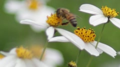 Bee 1 Stock Footage