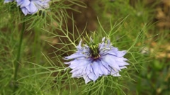 Black Cumin Bloom - hd1080 - stock footage