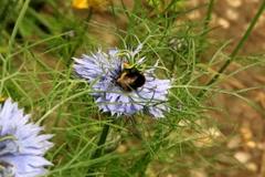 Bumblebee - ntsc dv Stock Footage