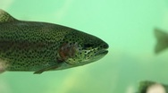 Trout Swims 3 Stock Footage