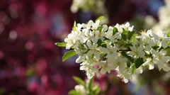 White and Pink Blossoms Stock Footage