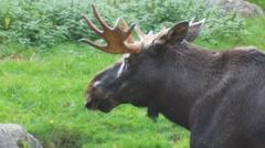 moose - stock footage