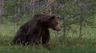 Stock Video Footage of Brown Bear itching