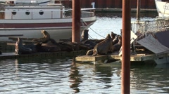 Sea Lions between two boats on a dock Stock Footage