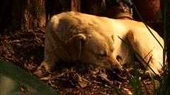 sleeping dog - stock footage