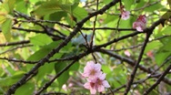 Cherry blossom flower 02 Stock Footage