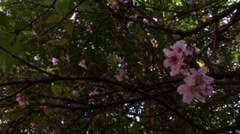 Cherry blossom flower Stock Footage