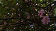 Cherry blossom flower Stock Footage