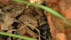 Black Widow Spider and Babies 1c Stock Footage