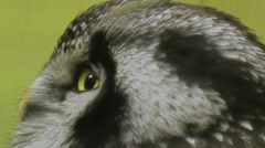 Hawk owl Stock Footage