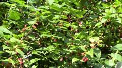 sunny blackberry tree - stock footage