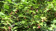 Sunny blackberry tree Stock Footage