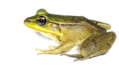 South American Green Frog (Lithobates sp.) Stock Footage