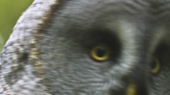 Great grey owl Stock Footage