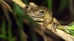 Rosenberg's Gladiator Treefrog (Hypsiboas rosenbergi) Stock Footage