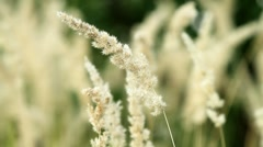 Dried grass. Stock Footage