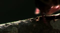 An extreme close up of a millipede moving along a branch in the Everglades. - stock footage