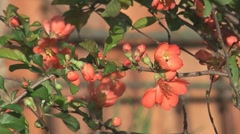 Chaenomeles japonica. Stock Footage